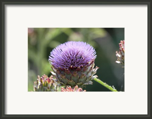 Globe Artichoke Framed Print By Dawn Oconnor