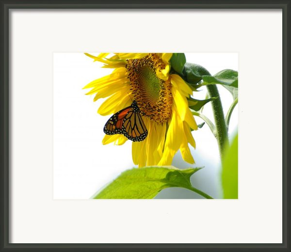 Glowing Monarch On Sunflower Framed Print By Edward Sobuta