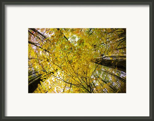 Golden Canopy Framed Print By Rick Berk
