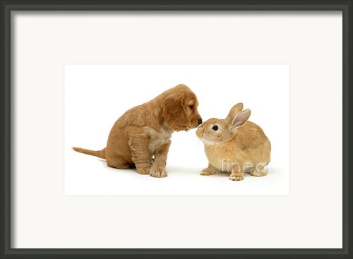Golden Cocker Spaniel And Rabbit Framed Print By Jane Burton