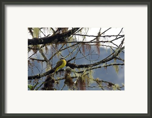 Golden-crowned Flycatcher Framed Print By Bob Gibbons