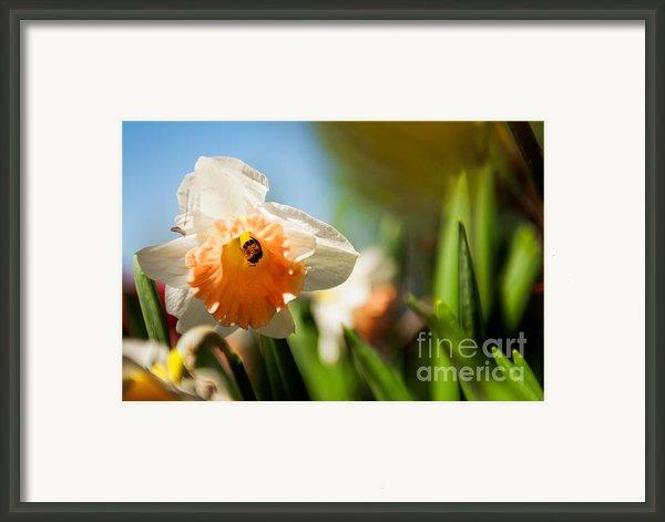 Golden Daffodils  Framed Print By Venura Herath