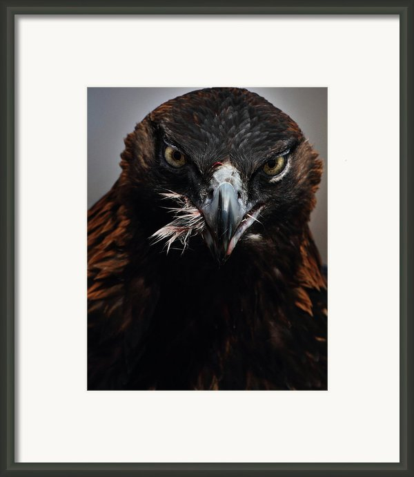 Golden Eagle Feeding Framed Print By Pat Gaines
