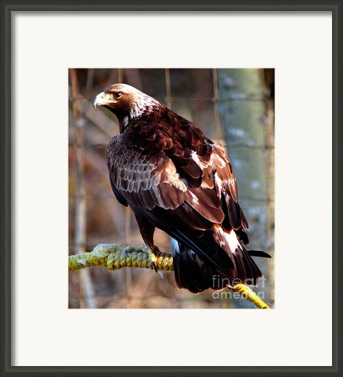 Golden Eagle Framed Print By Terry Elniski