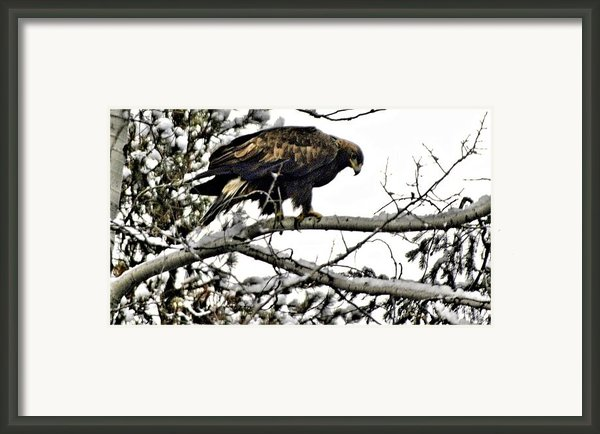 Golden Eagle Watches Framed Print By Don Mann