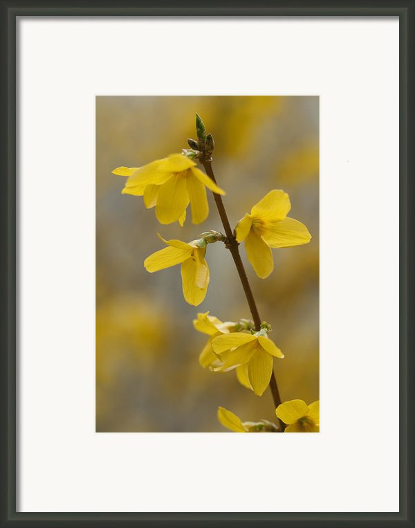 Golden Forsythia Framed Print By Kathy Clark