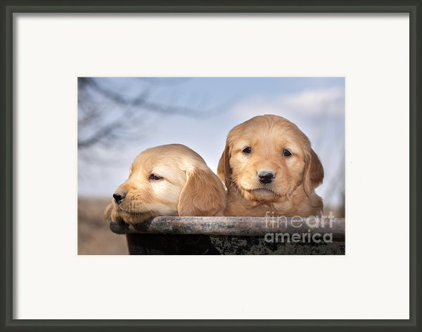 Golden Puppies Framed Print By Cindy Singleton