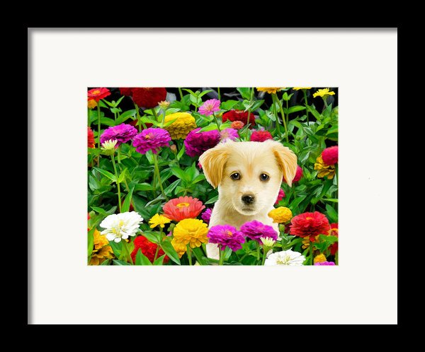 Golden Puppy In The Zinnias Framed Print By Bob Nolin