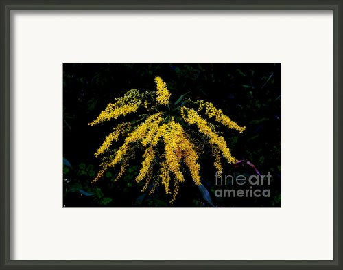 Goldenrod Framed Print By Priscilla Richardson