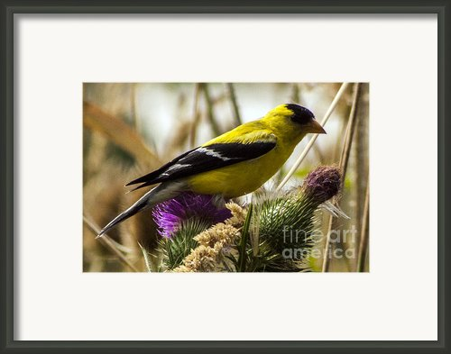 Goldfinch Atop A Purple Thistle Framed Print By Darleen Stry