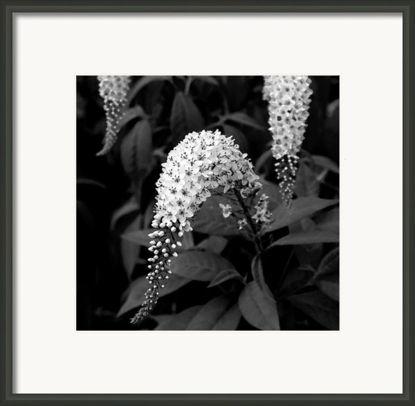 Gooseneck Loosestrife Framed Print By Michael Friedman