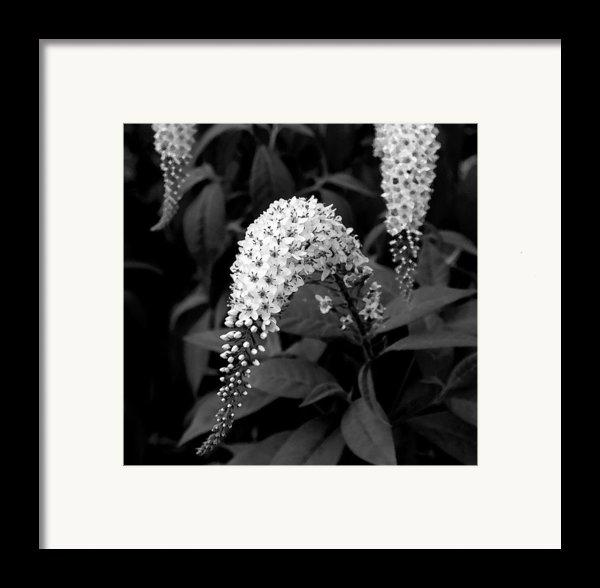 Gooseneck Loosestrife Framed Print By Michael Friedman