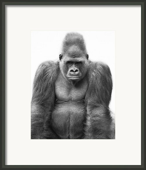 Gorilla Framed Print By Darren Greenwood