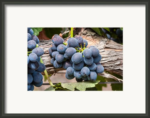 Grape Cluster Vine Framed Print By Dina Calvarese