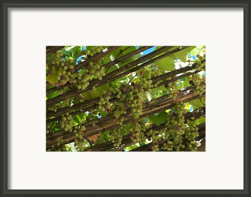 Grapes Grow On Vines Draped Framed Print By Heather Perry