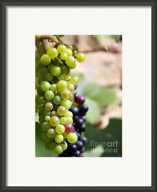Grapes Framed Print By Jane Rix