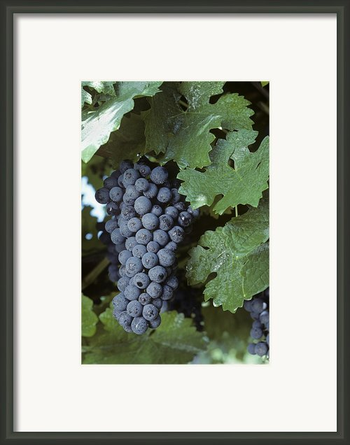 Grapes On The Vine Framed Print By Kenneth Garrett