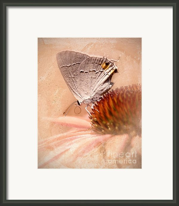 Gray Hairstreak Butterfly Framed Print By Betty Larue