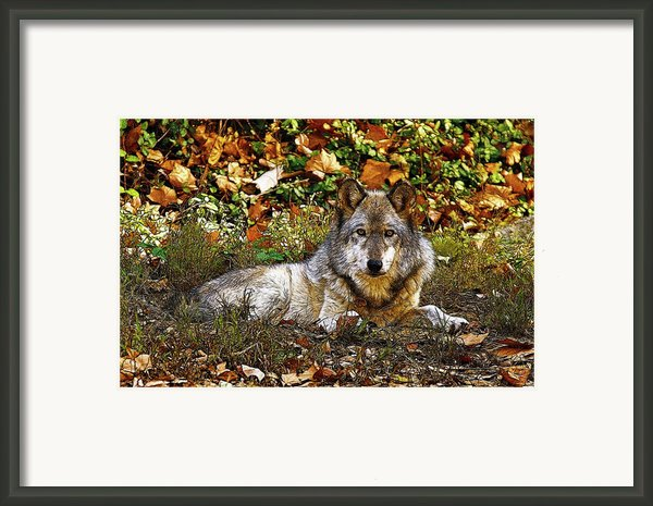 Gray Wolf In Autumn Framed Print By Sandy Keeton