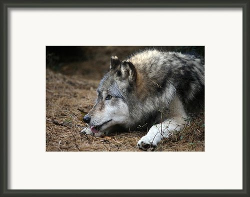 Gray Wolf Framed Print By Karol  Livote