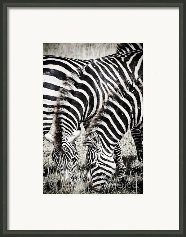 Grazing Zebras Close Up Framed Print By Darcy Michaelchuk