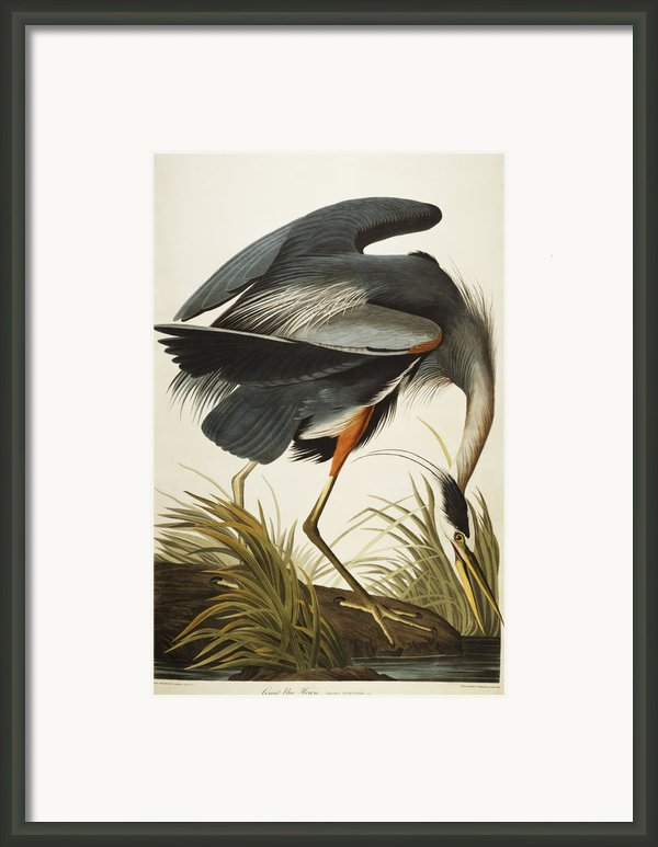 Great Blue Heron Framed Print By John James Audubon