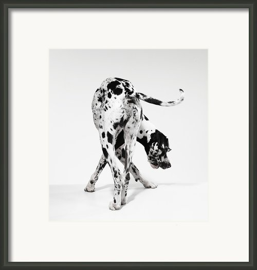 Great Dane Framed Print By Michael Blann