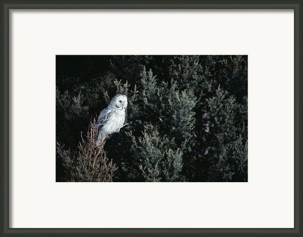 Great Gray Owl Strix Nebulosa In Blonde Framed Print By Michael Quinton