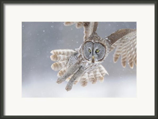 Great Grey Owl In Snowstorm Framed Print By Scott  Linstead
