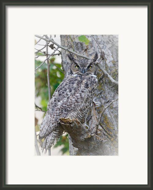Great Horned Owl Ii Framed Print By Athena Mckinzie