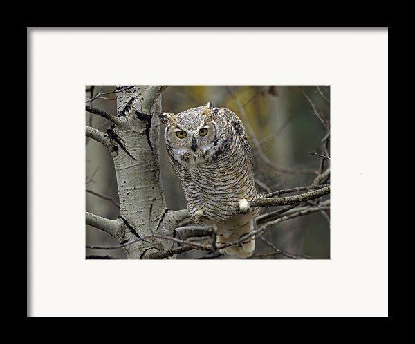 Great Horned Owl Pale Form Kootenays Framed Print By Tim Fitzharris