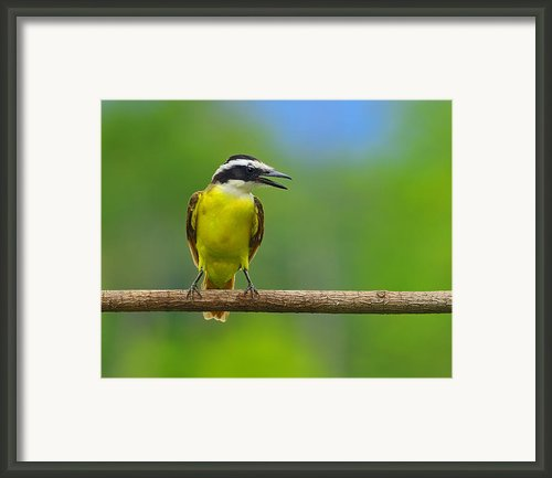 Great Kiskadee Framed Print By Tony Beck