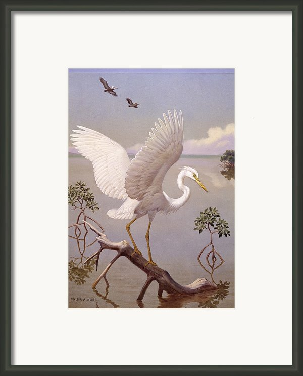 Great White Heron, White Morph Of Great Framed Print By Walter A. Weber