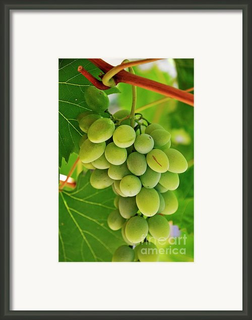 Green Grape And Vine Leaves Framed Print By Sami Sarkis