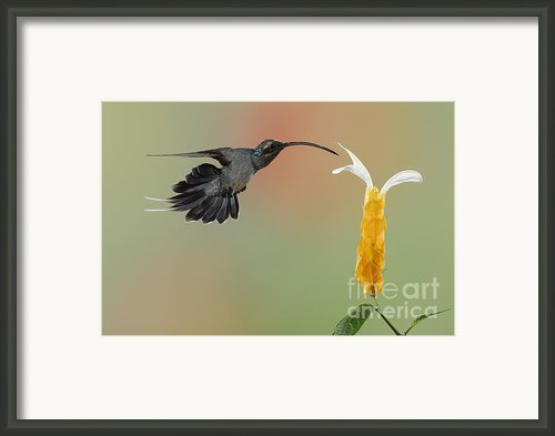 Green Hermit In Flight Framed Print By Juan Carlos Vindas