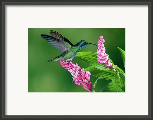 Green Violet-ear Colibri Thalassinus Framed Print By Michael & Patricia Fogden