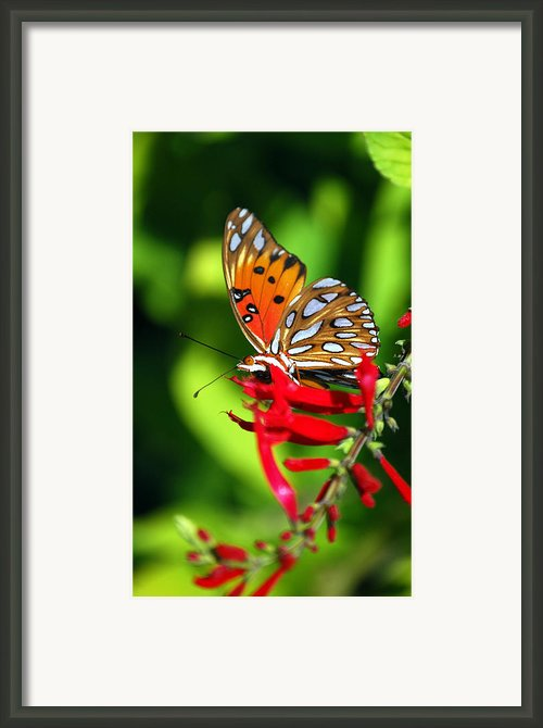 Gulf Fritillary Framed Print By Skip Willits