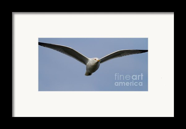 Gull In Flight . 7d12082 Framed Print By Wingsdomain Art And Photography