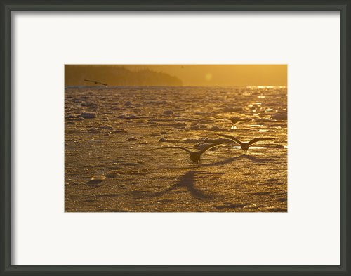 Gulls Fishing In Ice Framed Print By Tim Grams