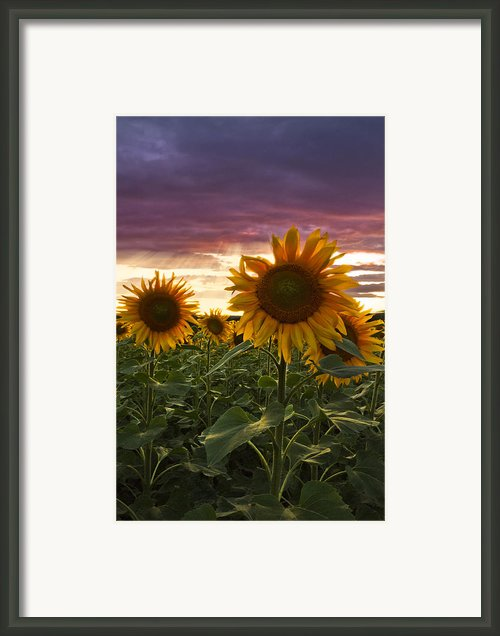 Happiness Is A Field Of Sunflowers Framed Print By Debra And Dave Vanderlaan