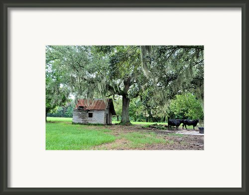 Havana Steers Framed Print By Jan Amiss Photography