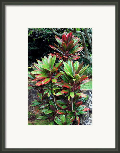 Hawaiian Ti Framed Print By Karon Melillo Devega