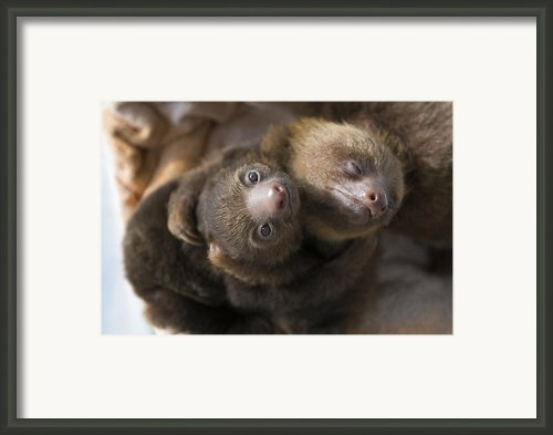 Hoffmanns Two-toed Sloth Orphans Hugging Framed Print By Suzi Eszterhas