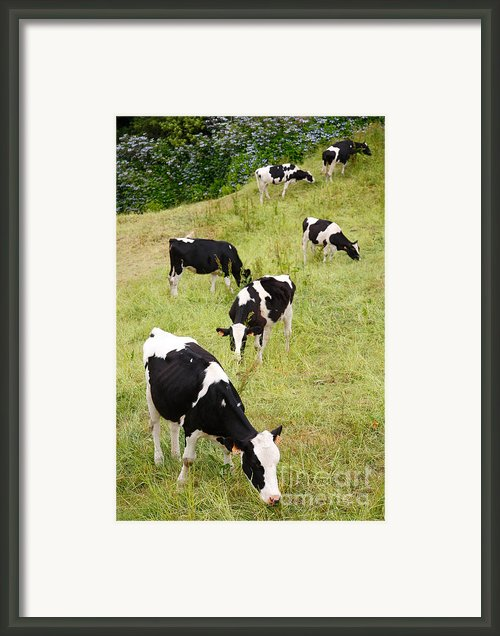 Holstein Cattle Framed Print By Gaspar Avila