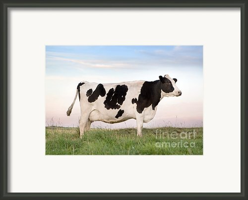 Holstein Dairy Cow Framed Print By Cindy Singleton