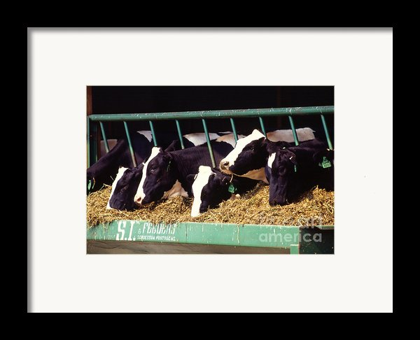 Holstein Dairy Cows Framed Print By Photo Researchers