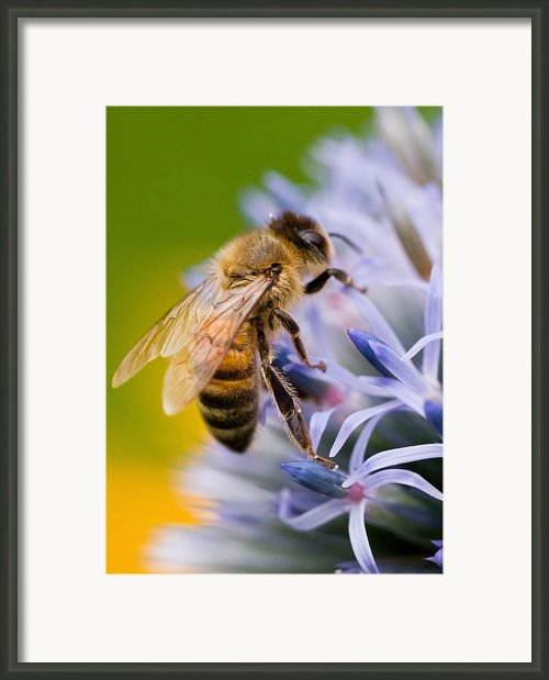 Honey Bee Framed Print By Bill  Wakeley
