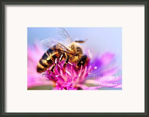 Honey Bee  Framed Print By Elena Elisseeva