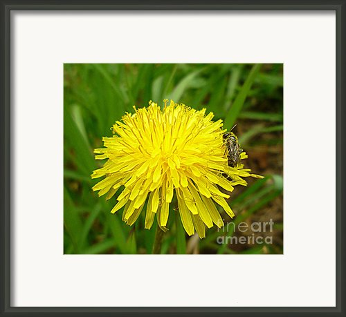 Honey Bee Full Of Pollen Framed Print By Renee Trenholm