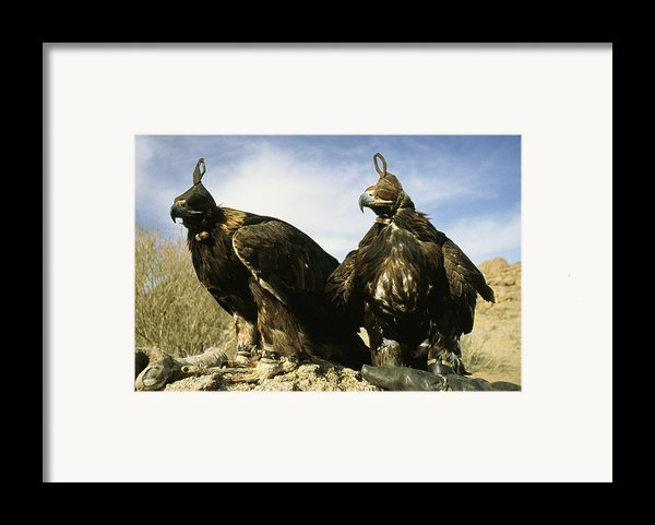 Hooded Eagles Stand Ready For Hunting Framed Print By Ed George